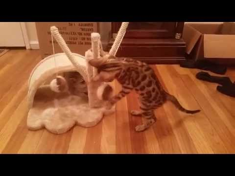 Baby Bengal Kitten and Singapura Kitten Get NEW Trixie Cat Toy - CHAOS ENSUES!