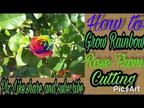 How to Grow Rainbow Roses From cutting Fast and easy!