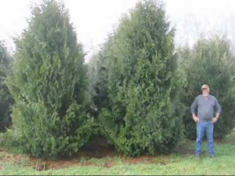 How to Trim a Spruce tree and a pine tree  Trimming 101