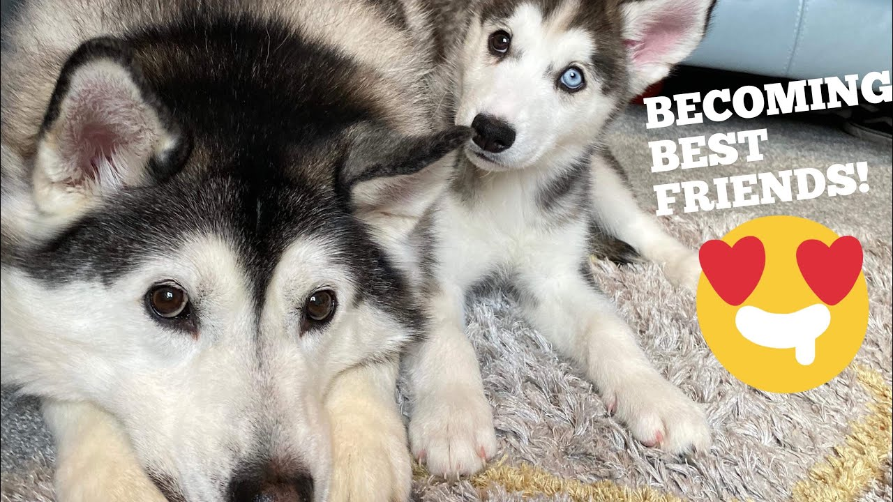 Huskies Finally Accept New Puppy Into The Family! [WITH CAPTIONS!!]