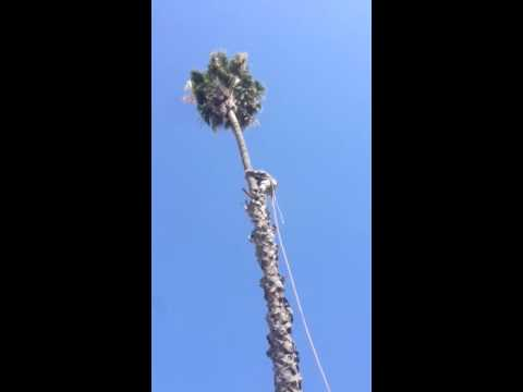 Climbing and trimming my 75' Palm Tree