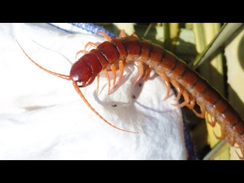Giant Centipede - Thailand VLOG 2