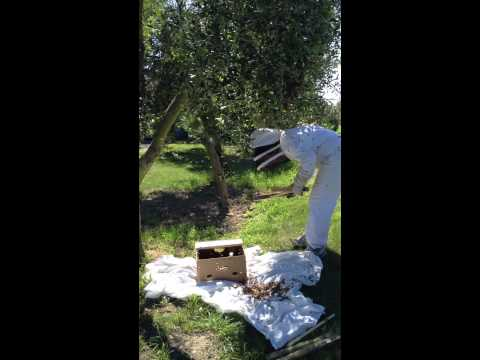 Catching a huge swarm of bees for a Top Bar Hive