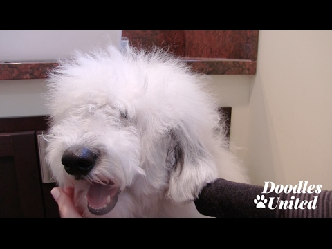 How To Whiten Your Dog's Beard & Coat | Sheepadoodle, Goldendoodle, Labradoodle