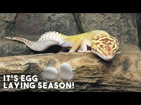 GECKO CONTRACTIONS & FIRST EGG!   May Weights 2018