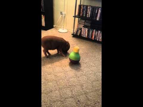 Micro pig Humphrey feeding while being active keep