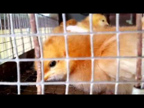 Feed Store Chicks - Golden Sexlink pullets