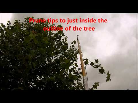 HOW TO: Pole Prune a Red Sunset Maple