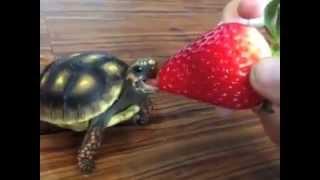 Turtle Eating Strawberry - Nom Nom Voiceover