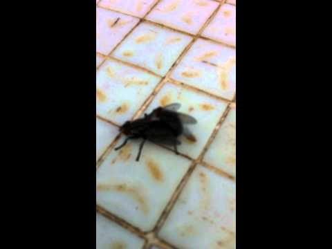 Do flies communicate to each other? (video was taken in my balcony) amazing. hear the voices