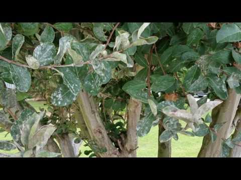 Arbor-Nomics: How to Identify and Treat Powdery Mildew Fungus