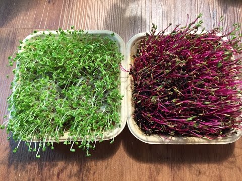 Broccoli Microgreens & Beet Microgreens From GreenThumbSprouts