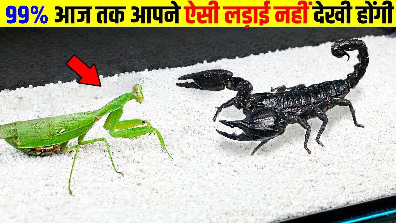 जब कीड़ों के बीच हुआ खतरनाक युद्ध | Dangerous Fight Between Insects| Top interesting facts| scorpio