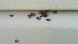 How To Quickly Kill Box Elder Bugs