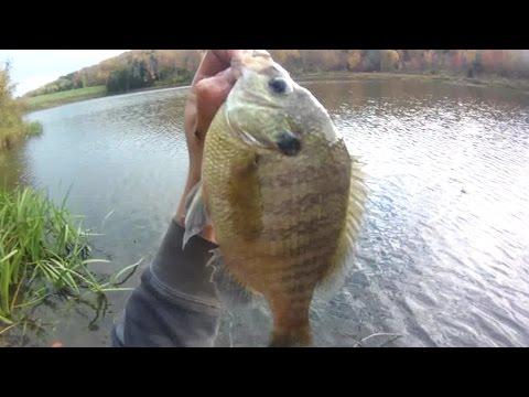 Bait Fishing #118 - Shore fishing for Big Bluegill (10.5