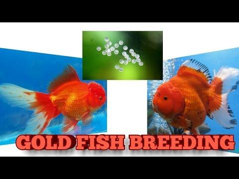 GOLDFISH BREEDING EASYLY - PakVim net HD Vdieos Portal