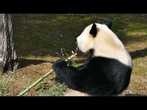 Mei Xiang the Giant Panda at the National Zoo
