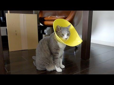 エリザベスモアレ - E-collar Cat -
