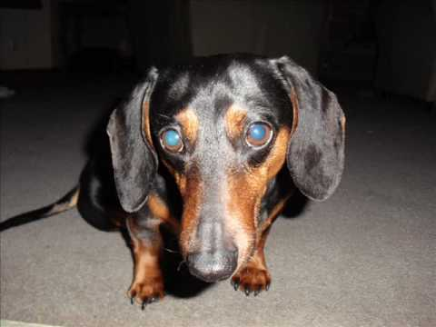 Miniature Dachshund with a ruptured disk, The Office Theme Song, John Mayer, Maroon 5
