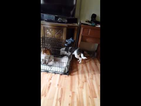 Dog breaks in to cage to mate with in heat female