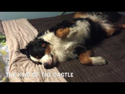 Secret Agent Ways of Bernese Mountain Dogs Part III:The Next Generation