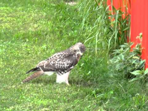 Red tailed Hawk trying to catch a mouse.