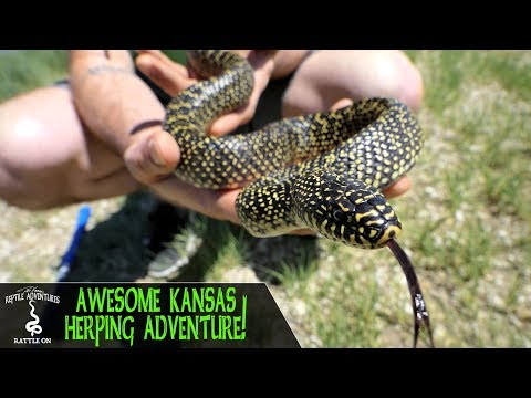 AWESOME KANSAS HERPING ADVENTURE! (kingsnakes, rattlesnakes and more!)