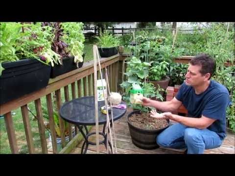 Growing Cherry Tomatoes in Containers: Pruning, Suckers, Calcium BER, Staking - A KIS Series (2/2)