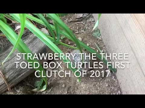 LIVE Egg Laying: Three toed box turtle clutch of 2017