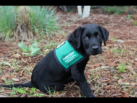 Dan the Guide Dog Puppy in Training!