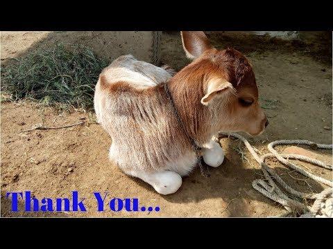 Cute Cow   Thank You Everyone 10000 Subscribers 10K Family Member Celebrate Cisco Tech 🔥