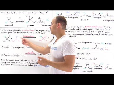Deamination of Amino Acids