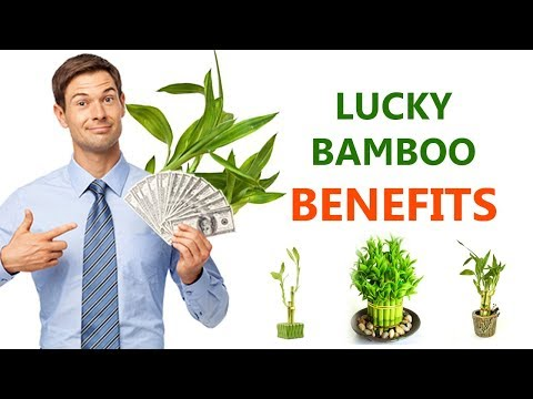 How many bamboo stalks for good luck | Lucky bamboo benefits | Health informatics