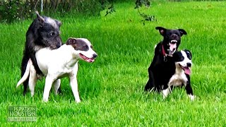 Stray Dogs Mating in Houston Propels Dog Over-Population in Texas