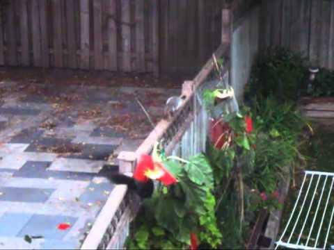 Squirrel attacking sunflower