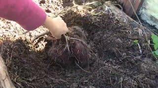 Harvesting Purple Sweet Potatoes (and How to Grow Sweet Potatoes)