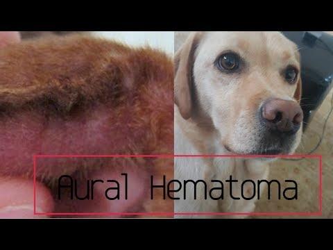 Ear Hematoma In Dogs (Aural Hematoma)