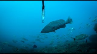 Download Spearfishing {Catch Clean Cook} White bread Tacos with Sambal Aioli Video