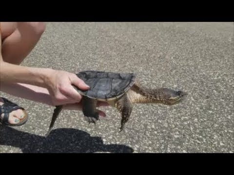 How to Help Turtles Cross the Road