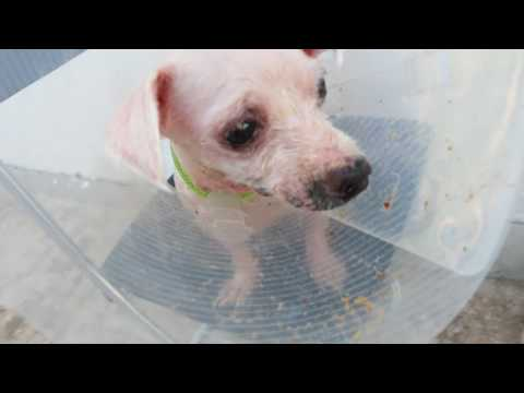 Day 6 of treatment of a Maltese with ringworm and mites  Pt 3/4
