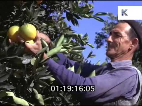 1960s Picking Oranges in Spain, Harvest