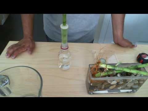 How to set your Lucky Bamboo Cutting