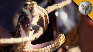 Insane Fangs of the Eastern Diamondback Rattlesnake!