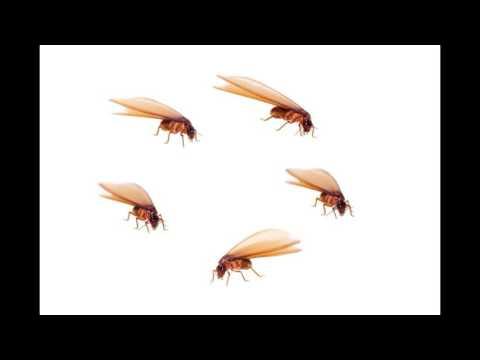 Flying termites or flying white ants flying ants in sydney pestec