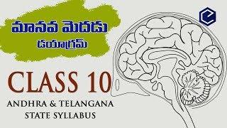 Brain Diagram Class 10 Ncert ~ DIAGRAM
