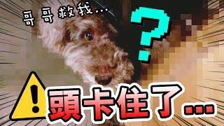 【突發】MUFFIN的頭意外卡在…中了!!