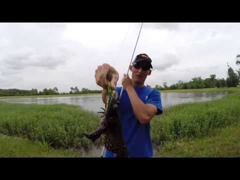 Catching GIANT Bullfrogs