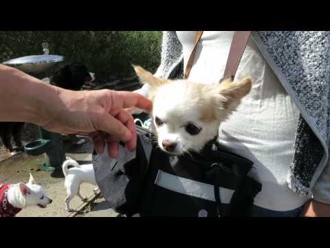 Chihuahua puppy mill rescue dog in a Handbag in Newport Williamstown Melbourne Australia !