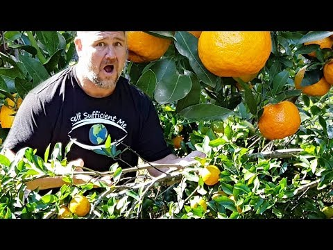 How to Stop Tree Branch BREAKING Under Weight of Fruit AMAZING Garden Hack