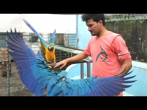 কবুতর এবং ম্যাকাও - Cage Bird's in Bangladesh